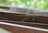 Saint Lucia Anole (Anolis luciae) brown form, adult, resting 32259008102  写真素材・ストックフォト・画像・イラスト素材 アマナイメージズ