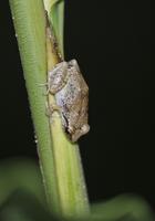 Lesser Antillean Whistling Frog (Eleutherodactylus johnstone