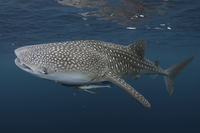 Whale Shark (Rhincodon typus) adult, with remoras, swimming,