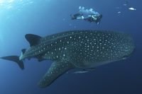 Whale Shark (Rhincodon typus) adult, with remoras and diver  32259008122| 写真素材・ストックフォト・画像・イラスト素材|アマナイメージズ