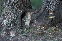 Thirteen-lined ground squirrel (Ictidomy tridecemlineatus) a