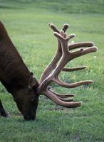 Elk male with velvet antlers