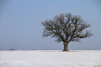 Solitary English oak tree in winter farmland landscape.  Thi