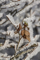 Winter Beech leaves covered in hoar frost