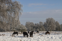Exmoor ponies have been introduced to Knettishall Heath to h