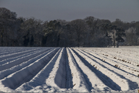 Deep furrow rows of carrots covered in snow..