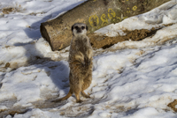 Meerkat standing on snow (captive)