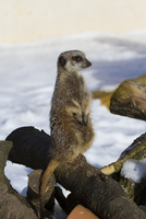 Meerkat sitting on logs with snow background (captive)