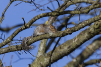 Grey Squirrels will often crouch close to a tree branch to m