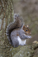 Grey Squirrel with nut on oak tree
