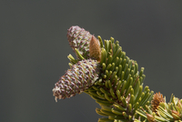 Ancient Bristlecone Pine (Pinus longaeva) close-up of cone,