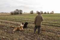 Man with 12 bore shotgun and working gun dogs, at pheasant s