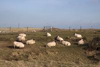 Flock of  Scottish Blackface domestic sheep with red fleece  32259008420| 写真素材・ストックフォト・画像・イラスト素材|アマナイメージズ