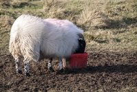 Scottish Blackface domestic sheep using a salt lick.