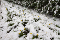 Winter Aconite flowering through snow, Roadside verge