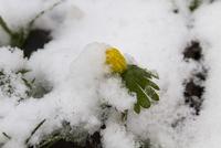 Winter Aconite flowering through snow, Roadside verge