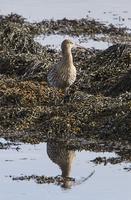 Eurasian Curlew standing on seaweed 32259008427  写真素材・ストックフォト・画像・イラスト素材 アマナイメージズ