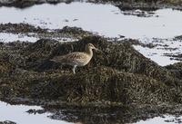 Eurasian Curlew standing on seaweed 32259008428  写真素材・ストックフォト・画像・イラスト素材 アマナイメージズ