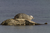 Common Seal resting on rock as the tide goes out - Jura Scot
