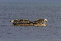 Common Seals resting on rock as the tide goes out - Jura Sco