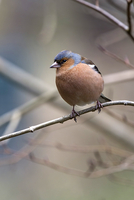 Male Chaffinch in spring on tree branch