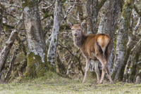 A young Red Deer hind stands near woodland on the Isle of Ju