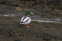 Mallard drake standing on seaweed