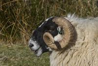 Scottish Blackface domestic sheep, note the ear tags.