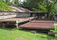 Cocoa (Theobroma cacao) crop, beans in drying trays, Fond Do