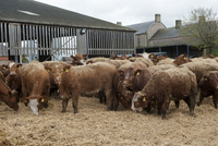 Cattle farming, beef cattle in finishing lot, feeding on cho