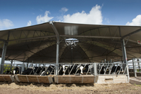 Cattle farming, dairy heifers in roundhouse building, design