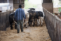 Cattle farming, farmer walking British Blue herd along passa
