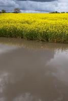 Oilseed Rape (Brassica napus) crop, flowering in field, stan