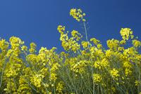 Oilseed Rape (Brassica napus) crop, flowering in field, Engl