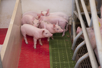 Pig farming, sow with piglets on heated pad in farrowing cra