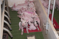Pig farming, piglets resting on heated pad in farrowing crat