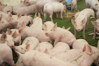 Pig farming, eleven-week old weaners, with automatic feeders