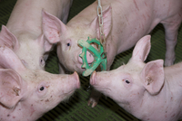 Pig farming, eleven-week old weaners, with hanging 'toy' to