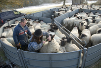 Sheep farming, farmers drenching and vaccinating suffolk cro
