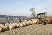 Sheep farming, farmer feeding flock of in lamb ewes on cold