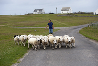 Sheep farming, crofter moving flock along road, Isle of Tire