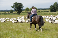 Sheep farming, woman shepherding sheep on horseback, musteri