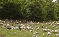 Sheep farming, shepherd with sheepdog, flock grazing along e