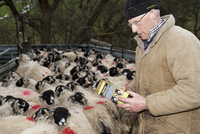 Sheep farming, farmer reading instructions on Zermex medicin