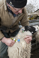 Sheep farming, farmer injecting Swaledale sheep with Enzooti