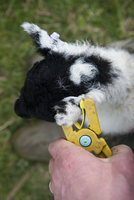 Sheep farming, shepherd tagging ear of young lamb with elect