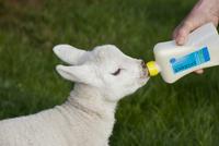Sheep farming, shepherd feeding orphaned pet lamb with bottl