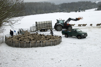 Sheep farming, farmers penning up flock in snow, ready for s