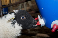 Sheep farming, orphaned lamb feeding on milk from bucket fee