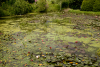 Waterlilies flowering in large garden pond, Waterlily Lake,